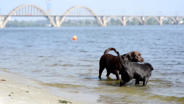 two cheerful brown labradors play in water video