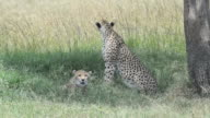 Two Cheetahs in the Shade video