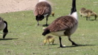 HD video Canada geese Branta canadensis family feeding video