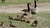HD video Canada geese Branta canadensis family resting video