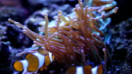 Two Clown Fish video