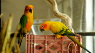 Two conure parrots look at the camera near a glass bowl of water in slow mo video