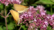 Two copulating butterflies on oregano video