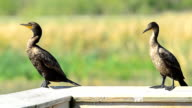 Two Cormorants hanging out on a wood handrail video