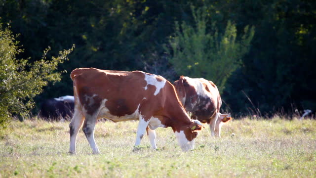two cows peacefully grazing video