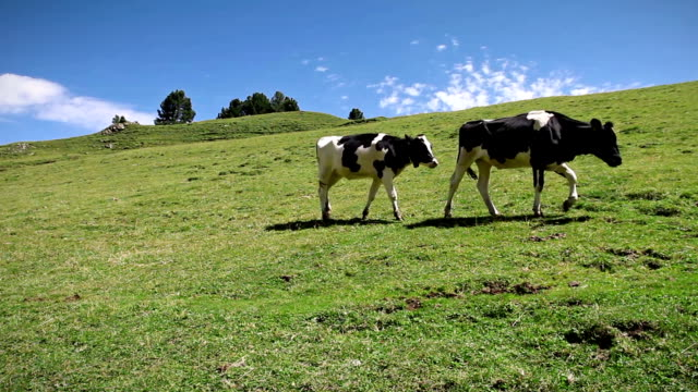 Two Cows Walking over a green field video