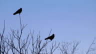 Two Crows in a Tree video