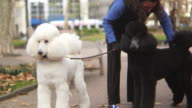 HD: Two cute poodles barking video