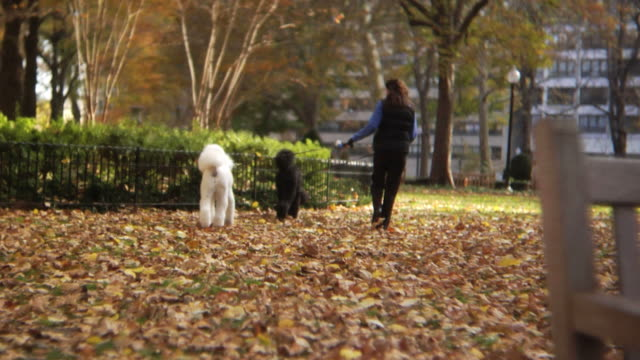 HD: Two cute poodles walking video