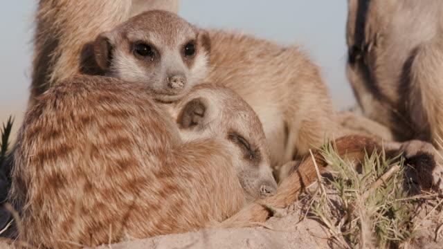 Two cute sleepy baby meerkats video