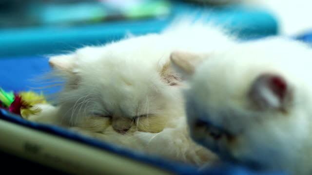 Two cute white cats sleeping video