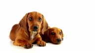 Two Dachshund Puppy on a White Background video
