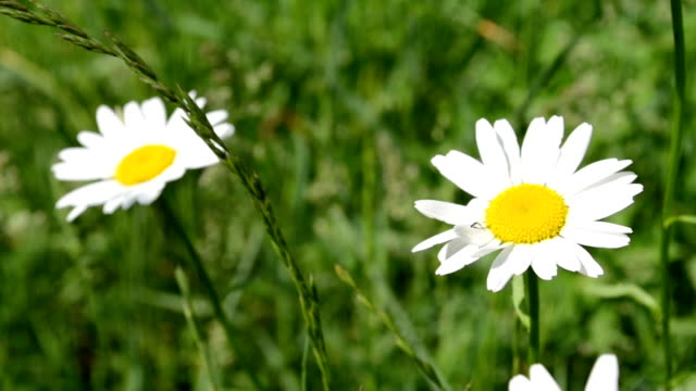 Two Daisies in Grass Field video