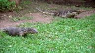 Two dangerous lizards predators wild striped varans, varanus salvator, on grass in national park video