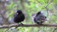 Two Darwin's Finch are clean their plume. video