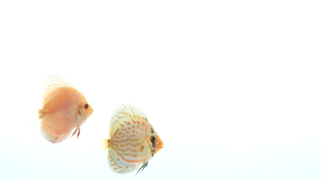 Two discus fish swimming slowly from left to right. video