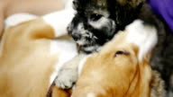 Two dog puppies playing together on the floor video