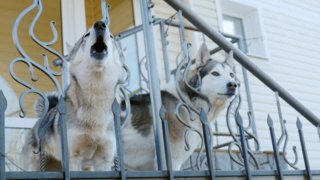 Two dogs like Laika wait for their master on the porch of the house. Devotion and friendship video