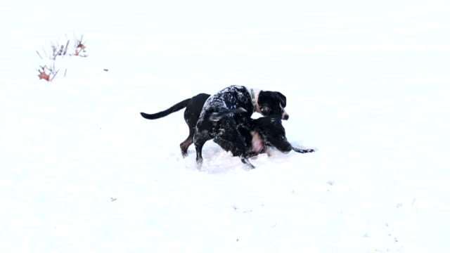 Two dogs playing in the snow video