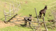 Two Donkeys Near Hurdle video