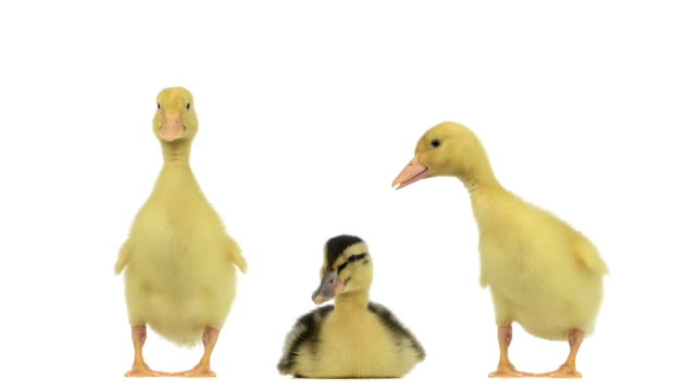 Two duckling standing, quacking and another is lying betwwen them video