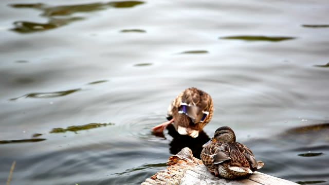 Two ducks clean feathers in lake video