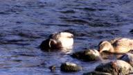 Two Ducks Feeding In American River Sacramento California video