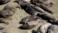Two Elephant Seals Fighting With Each Other video