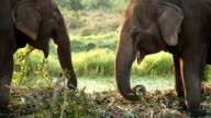 Two elephants feed in glade area, apparently conversing video