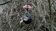 two Eurasian blue tits (Cyanistes caeruleus) on bird feeder in winter. coconut video