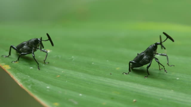 two exotic snout beetle on the tree leaf video