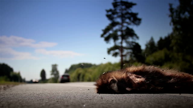 Two family cars passed by dead animal Raccoon dog body video