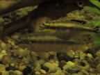 Two fishes swimming in aquarium video