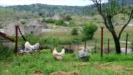 Two Free Range Chicken video