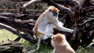 Two funny monkey  sitting outdoor. video