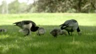 Two goose and three goslings 4K FS700 Odyssey 7Q video
