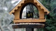 two great tits on bird feeder in winter time. video
