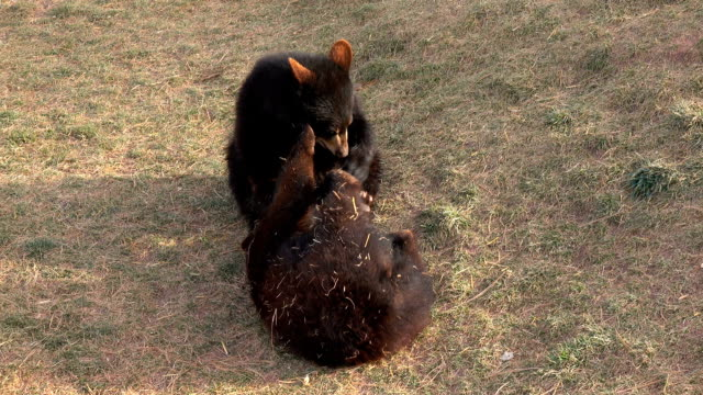 CLOSE UP: Two happy black bears having fun playing and wrestling video