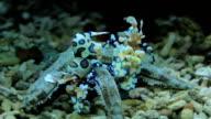 Two Harlequin shrimp video