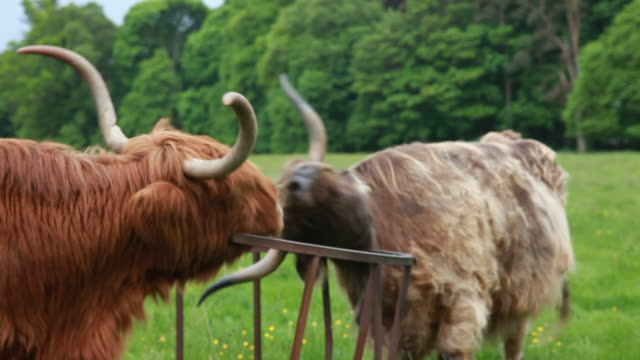Two Highland Cows Scratching video