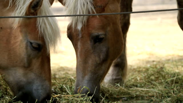 Two horses eating hay video