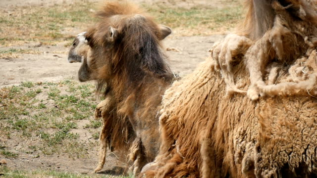 Two humped camel lies on the land and chews hay in a zoo in summer in slow motion video