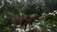 two Iberian wolves video