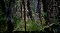 Two kangaroos blending into the woods video