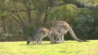 Two Kangaroos Grazing, Amorous Male with Female, Australia video