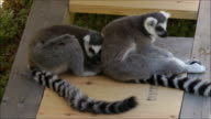 Two lemurs resting with each other video