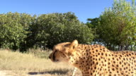 CS TS Two Leopards video