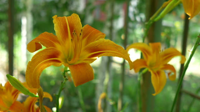 Two Lilies in Bloom video