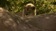 Two Lions walk to the top of a cliff HD video