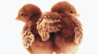 Two little baby chicks -- rear view. video